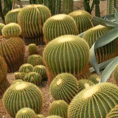 Echinocactus Grusonii - 20 seeds - Mother in Law Cushion