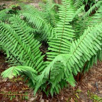 Dryopteris Wallichiana - 100 spores - Hardy Alpine Wood Fern AGM