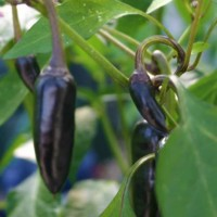 Chili - Black Hungarian - 50 Seeds - 5000 - 10,000 Scovilles