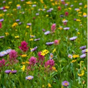 Bee and Butterfly Meadow Mix Seeds - 10g Packs