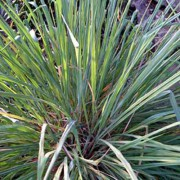 Cymbopogon Flexuosus - 500 Seeds - East Indian Lemon Grass