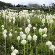 Xerophyllum Tenax - 25 Seeds - Bear Grass / Indian Basket Grass
