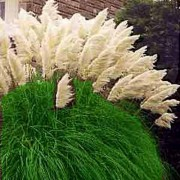 Cortaderia Selloana - 100 Seeds - White Pampas Grass