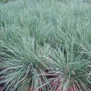 Koeleria Glauca  - 150 Seeds - Blue Hair Grass