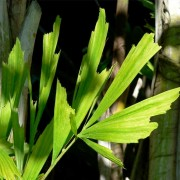 Caryota Mitis - 6 Seeds - Burmese Fishtail Palm