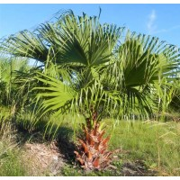 Livistona Chinensis - 10 Seeds - Hardy Chinese Fan Palm / Fountain Palm