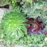 Aeonium Mixed Species - 100 Seeds Mixture - Canary Island Succulent