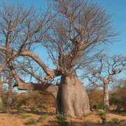 Adansonia Digitata - 6 Seeds - Baobab Tree