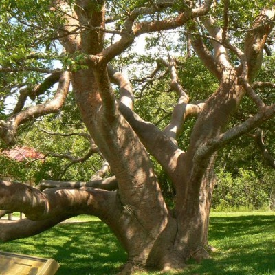 Bursera Simaruba - 20 Seeds - Gumbo Limbo - Tourist or Turpentine Tree - Medicinal