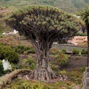 Dracaena Draco - 10 Seeds - Strange Dragon Tree Palm